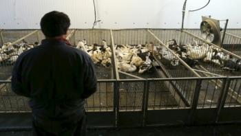 السعودية تعلن تفشي إنفلونزا الطيور في مزرعة وتعدم 358 ألف طائر