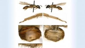 نصفها ذكر والآخر أنثى.. العثور على أول نحلة مزدوجة الجنس